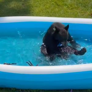 「暑い日はこれが一番!」ビニールプールで遊ぶクマがまるで人間の子供のようで可愛らしい
