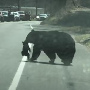 母熊🐻「車道の向こう側渡るわよ!!」子熊ABCD🧸「はーい!!」子育て熊大苦戦!その影響で交通もストップ!