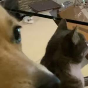 ネッコ「ナゲット盗んだろ!ひょい😼」イッヌ「テレビ面白いなぁ・・・チラッ!何だナゲットかー・・・えっ?・・・えっ?🐶」犬も三度見するんだなぁ。