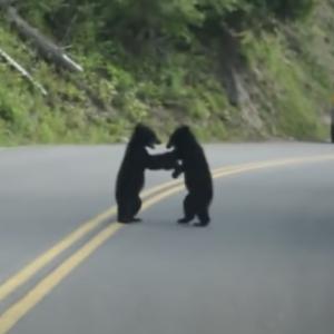 子熊たち「きゃっきゃっ!・・・・なんかギャラリーおる・・・帰ったろ!」車道で戯れる子熊が我に帰る瞬間がかわいい