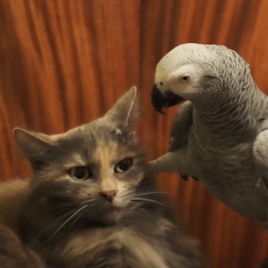 オウム「おい、頭だせよ。おう!足蹴(物理)にされてどんな気持ち?ねぇどんな気持ち?」猫「・・・・・(コイツうざいわぁ。)」