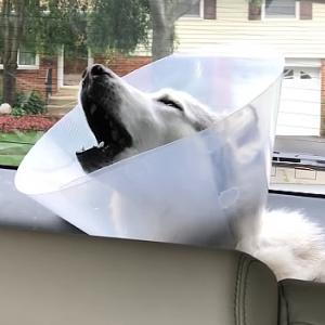 麻酔が切れかけのハスキーが遠吠えをするとこうなります。頑固者ハスキーのゼウスくんの動画!