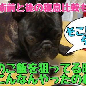 足の揃い方が何ともかわいい犬と鼻腔手術前、後の寝息比較【検証動画】 #犬動画 #かわいい犬 #わんこ
