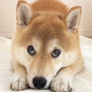 柴犬ちゃんがお出かけ前のママと交わした可愛い約束🙈💕【PECO TV】 #犬動画 #かわいい犬 #わんこ