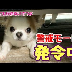 逃げ込んでいる内にベッド下が自分の家だと思い始めた子犬チワワ #犬動画 #かわいい犬 #わんこ