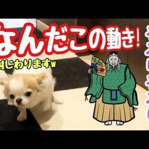 大爆笑!ただ見送るだけなのに変な動きになる子犬チワワ #犬動画 #かわいい犬 #わんこ