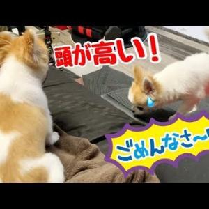 いつもやられてばかりのシニア犬チワワが子犬に反撃開始! #犬動画 #かわいい犬 #わんこ