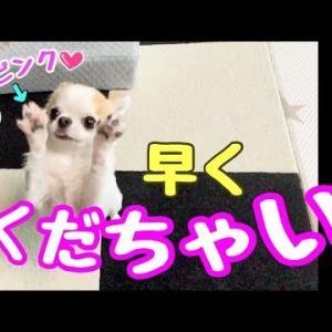 オヤツを目の前にするとプロボクサー並みの動きする子犬チワワ #犬動画 #かわいい犬 #わんこ