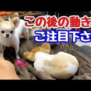 先住犬チワワに怒られないよう行動する子犬チワワ #犬動画 #かわいい犬 #わんこ