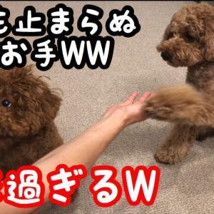 もぐもぐTimeで可愛い過ぎる瞬間が!【トイプードルそぼろ&ニコ】 #犬動画 #かわいい犬 #わんこ