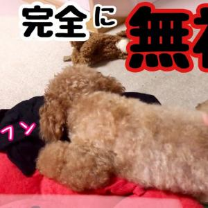都合が悪くなると不機嫌になり何も聞こえないフリをする子供みたいにかわいいトイプードル❤️ #犬動画 #かわいい犬 #わんこ