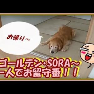 かわいい大型犬  ゴールデンレトリバー 一人でお留守番。好きなように過ごしま~す Golden Retriever #犬動画 #かわいい犬 #わんこ