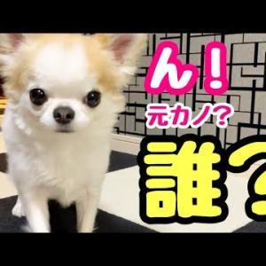 飼い主帰宅だけど、それが謎の女だったら一体どんな反応をするのか検証してみた【チワワ】 #犬動画 #かわいい犬 #わんこ