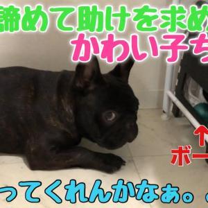 悩んで助けを求めてる顔がかわいすぎるフレンチブルドッグw #犬動画 #かわいい犬 #わんこ