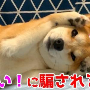 可愛い仕草をしている柴犬ハナ 実は悪いことをしています! shiba inu is sleepy? #犬動画 #かわいい犬 #わんこ