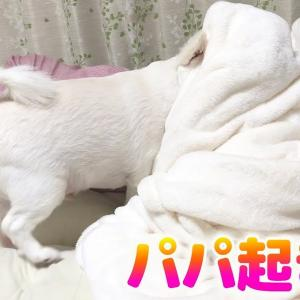「パパ起きて!」一生懸命起こそうとする犬が可愛いすぎる♥チワワのコハク #犬動画 #かわいい犬 #わんこ