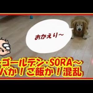 かわいい大型犬  ゴールデンレトリバー タイミング!パパか!ごはんか!混乱するそら。 Golden Retriever #犬動画 #かわいい犬 #わんこ