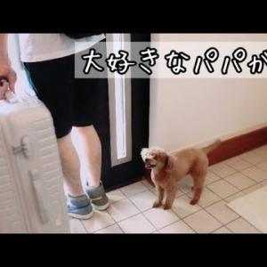 【切ない】パパとお別れ・・。トイプードルのTaruto&Rasuku #犬動画 #かわいい犬 #わんこ