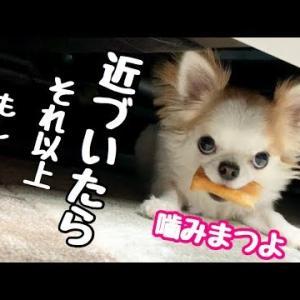 人間顔負けの目力で圧力をかけてくる犬【子犬チワワ】 #犬動画 #かわいい犬 #わんこ