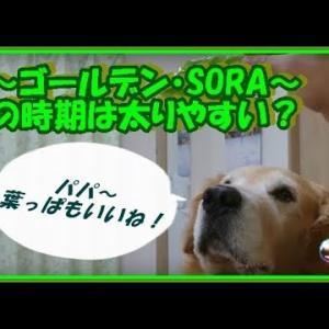 かわいい大型犬  ゴールデンレトリバー 犬のダイエット!?パパもした方がいいね・・。 Golden Retriever #犬動画 #かわいい犬 #わんこ