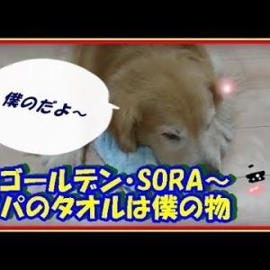かわいい大型犬  ゴールデンレトリバー パパが置いていったタオル、誰にも渡したくないんです。  Golden Retriever #犬動画 #かわいい犬 #わんこ