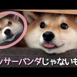 いえ、僕は柴犬です。柴犬こてつ君です。 #犬動画 #かわいい犬 #わんこ