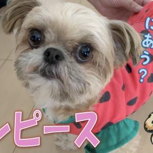【犬グッズ】ダイソーのわんこ服!スイカワンピース♡ – Watermelon Dress -【チワワ×シーズー】 #犬動画 #かわいい犬 #わんこ