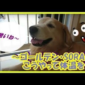かわいい大型犬  ゴールデンレトリバー パンティングで体温を下げます、暑い時期は大変ですね。  Golden Retriever #犬動画 #かわいい犬 #わんこ