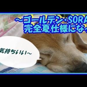 かわいい大型犬  ゴールデンレトリバー 完全夏仕様になった。仲良く就寝です(笑) Golden Retriever #犬動画 #かわいい犬 #わんこ