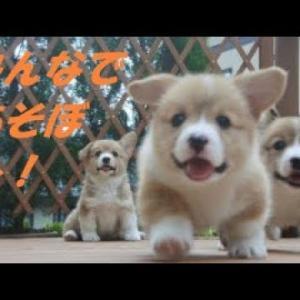 【コーギー】の めっちゃ可愛い動画集 2019 #犬動画 #かわいい犬 #わんこ