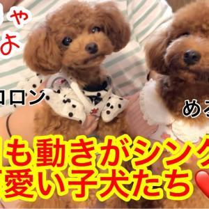 【そっくりな2匹】お友達と街中へお出かけ!「トイプードルのコロン」 #犬動画 #かわいい犬 #わんこ