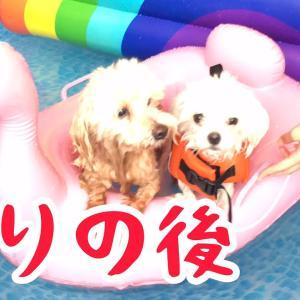 ドライヤーで乾かされる姿も可愛いよ!マルチーズとマルプー泳ぎました! #犬動画 #かわいい犬 #わんこ