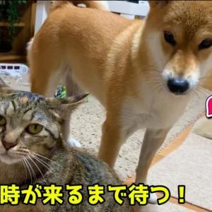 激カワ猫半月目のリム 柴犬に可愛いイタズラ大作戦!Rim strategy #犬動画 #かわいい犬 #わんこ