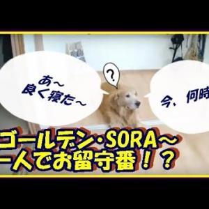かわいい大型犬  ゴールデンレトリバー あれ?真っ暗な家・・。一人で爆睡してました。 Golden Retriever #犬動画 #かわいい犬 #わんこ