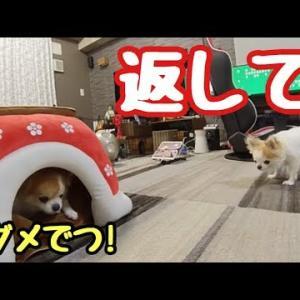 自分の家が先住犬に奪われ呆然とする子犬チワワ #犬動画 #かわいい犬 #わんこ