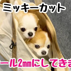 チワワのチョッピチャンネルLIVE🔴 今年2回目のサマーカット行ってきます😉 #犬動画 #かわいい犬 #わんこ