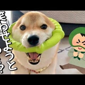 柴犬こてつ君は毎日いろんな姿を見せて笑わせてくれます♡ #犬動画 #かわいい犬 #わんこ