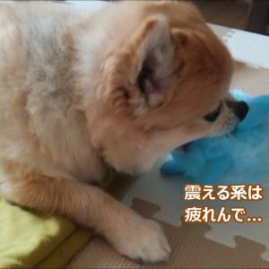 すぐキレるポメラニアン121 次回「コタ島に救世主現る!?」 #犬動画 #かわいい犬 #わんこ
