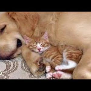 優しいゴールデンレトリバーとかわいい子猫は純粋な可愛らしさ #461 #犬動画 #かわいい犬 #わんこ