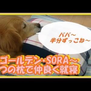 かわいい大型犬  ゴールデンレトリバー 二人で一つの枕!いつも一緒に就寝します。 Golden Retriever #犬動画 #かわいい犬 #わんこ