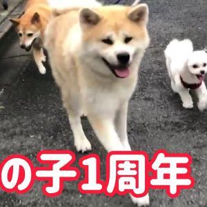 感謝!秋田犬らんぷちゃんは明日がうちの子1周年記念日なんです! #犬動画 #かわいい犬 #わんこ