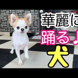 興奮して変な踊りを始めてしまう子犬チワワ #犬動画 #かわいい犬 #わんこ
