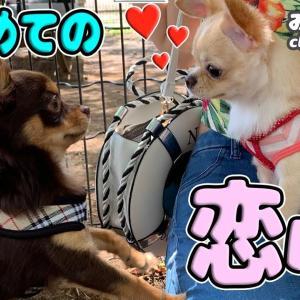 🔴生後8カ月チワワはじめての恋心@ドッグラン【前編】【可愛い】【dog】【puppy】 #犬動画 #かわいい犬 #わんこ