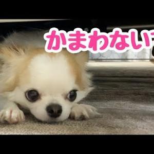 甘えん坊で寂しがり屋のくせに一人になりたがる天邪鬼のチワワ #犬動画 #かわいい犬 #わんこ