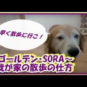 かわいい大型犬  ゴールデンレトリバー 我が家の散歩の仕方。大型犬におすすめです! Golden Retriever #犬動画 #かわいい犬 #わんこ