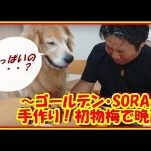 かわいい大型犬  ゴールデンレトリバー おじさん二人、手作り梅干しで晩酌! Golden Retriever #犬動画 #かわいい犬 #わんこ