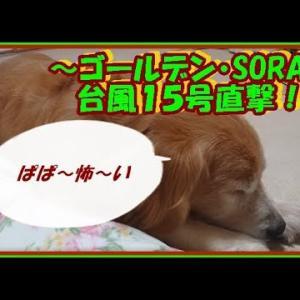 大型犬と暮らす。かわいい大型犬  ゴールデンレトリバー 台風15号!過去最強の台風が千葉県を直撃!その時そらは・・。Golden Retriever #犬動画 #かわいい犬 #わんこ