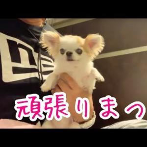 身体を震わせながら夜の散歩を頑張る子犬チワワ #犬動画 #かわいい犬 #わんこ