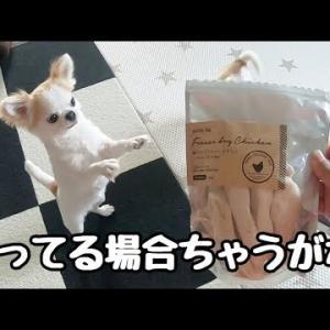 チワワが立ち上がってしまうほど美味すぎる犬用オヤツ! #犬動画 #かわいい犬 #わんこ