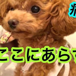 病院で放心状態になる犬。「トイプードルのコロン」 #犬動画 #かわいい犬 #わんこ